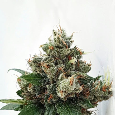 Expert Seeds - Respect 4 Gorilla Indica Line (3 seeds + 2 FREE)