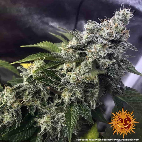 Barney's Farm - 8 Ball Kush Feminised (3 seeds)