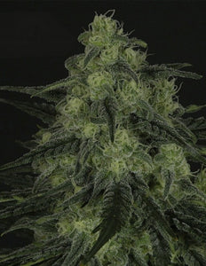 Ripper Seeds - Black Valley Feminised Photoperiod (1 pack)