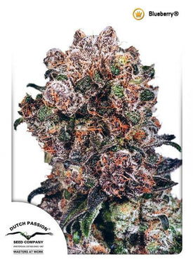 Dutch Passion Blueberry bud is depicted and is dark purple and blue. This strain contains both sativa and indica properties and can be used for cannabis health care alternative or as THC supplements .