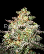 Load image into Gallery viewer, Expert Seeds - Caramella Auto flowering (1 seed)