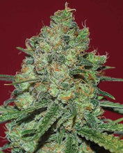 Load image into Gallery viewer, Expert Seeds - Clinical White CBD Feminised (1 seed)