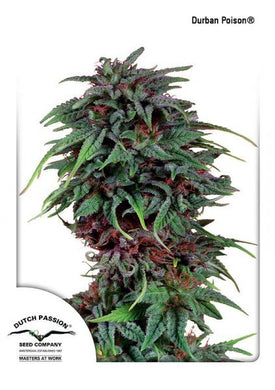 Durban Poison is depicted with dark red pestles and dense buds. This strain contains both sativa and indica properties and can be used for cannabis health care alternative or as THC supplements .
