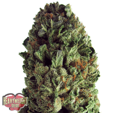 depicted is heavy weight seeds budzilla a high yielding strain