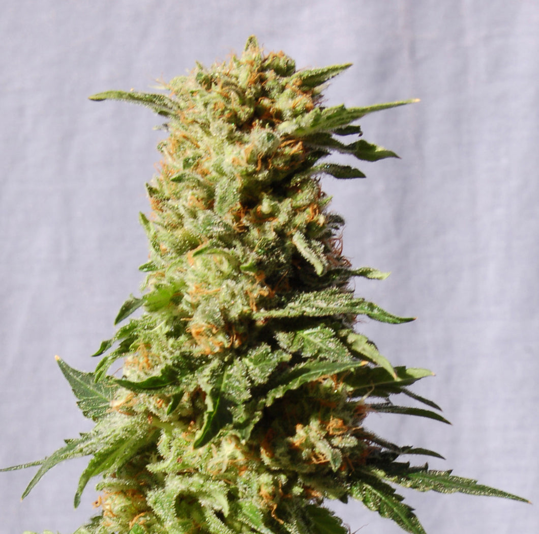 depicted is kannabia seeds la blanca supplied by sangoma seeds south africa , use this strain for your cannabis extracts