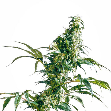 depicted is sensi seeds mexican sativa , great to put the kick into your cannabis oil or cannabis extract
