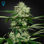 Greenhouse Seeds - NL Automatic Feminised Seeds (3 seeds)