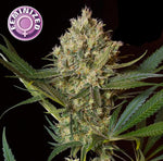 depicted is keraseeds nlx special a potent cannabis strain