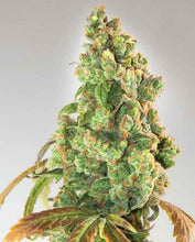 Load image into Gallery viewer, Expert Seeds - Nurse Lilly CBD (3 pack) - Medical Marijuana