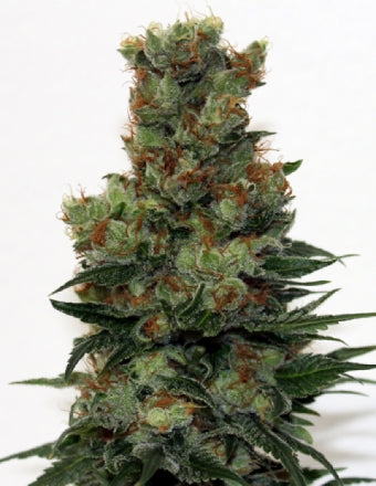 Ripper Seeds - Badazz Feminised Photoperiod (1 seed)