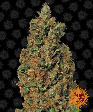 Depicted is barneys farm dank red diesel cannabis strain supplied in south africa. it has light green and bright orange buds. find out more about the benefits of cannabis on our blog