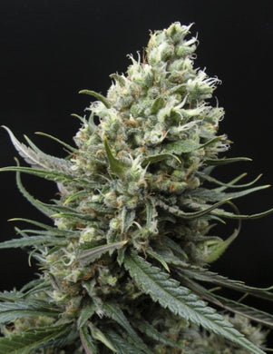 Ripper Seeds - Haze Feminised Photoperiod (1 seeds)