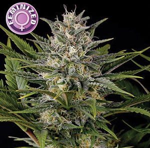 depicted is keraseeds royal queen diamond a strain with high thc and crystallized buds