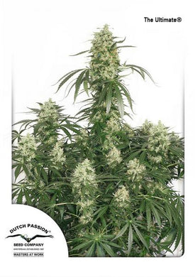 Dutch Passion The Ultimate is depicted with large buds and huge fan leaves.  Wondering how to grow weed , or what exactly is the difference between organic hemp and organic cannabis ? Check out or blog!