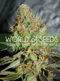 depicted is afghan kush by seedsman . ak kush is one of the dankest strains you could ever smoke . Buy Afghan Kush from sangoma cannabis seeds south africa now