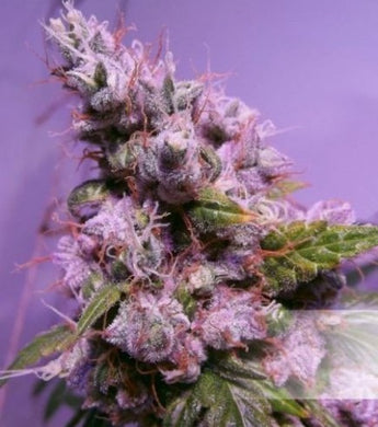 Depicted is Dutch Passions Auto Euforia in a purple hue , this cannabis strain is supplied by sangoma seeds south africa. learn more on cannabis on our blog. we are a retailer local to south africa