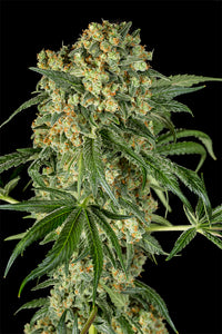 Depicted is dinafem seeds big kush with huge yielding properties and parented by OG kush and big skunk. grow weed in south africa