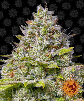 Blue Gelato 41 is depicted with BRIGHT glistening buds that look almost purple. Sangoma Seeds ... Your legal marijuana seed vendors