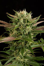 Load image into Gallery viewer, Depicted is dinafem seeds blue cheese with pink under the sugar leaves. trust is sangoma seeds south africa to assist in growing your own dagga