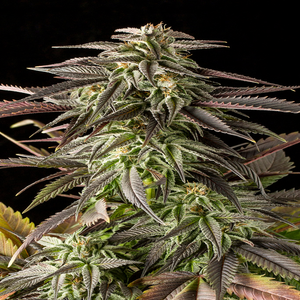 Blue Cheese cannabis seeds in south africa by Dinafem seeds is depicted with its beautiful purple to pink fan leaves and crystal like buds