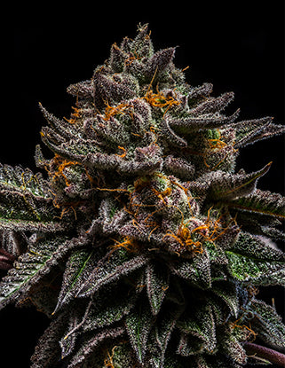 Ripper Seeds - Braincake Feminised Photoperiod (3 seeds)