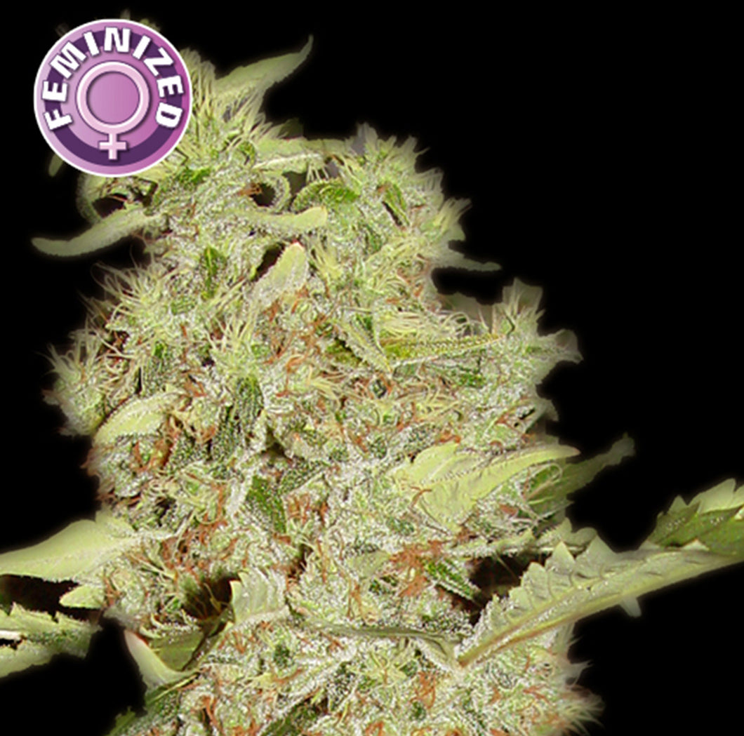 depicted is keraseeds bubblegum , this potent strain of ganja will keep you coming back for more