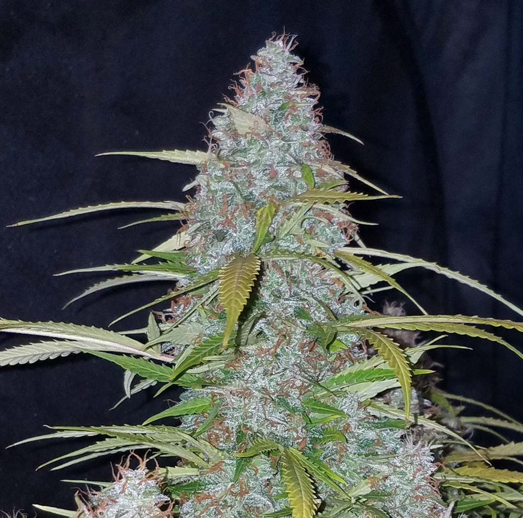 420 FAST BUDS - California Snow (5 seeds + 5 free)