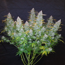 Load image into Gallery viewer, Depicted are large frosty buds ready for harvest Californian Snow or, Cali Snow is a marijuana strain that could be used for marijuana extracts or marijuana tincture . If you're asking, where do I buy cannabis seeds in South Africa? Sangoma Seeds, A local South African seed bank, is the place to go.