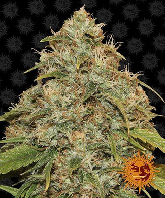 Barney's Farm Lemon Potion CBD is high in CBD and low in THC , depicted with the most dense buds you could imagine. This strain can be used for marijuana tincture , cannabis extract or other THC extracts or cannabis oil