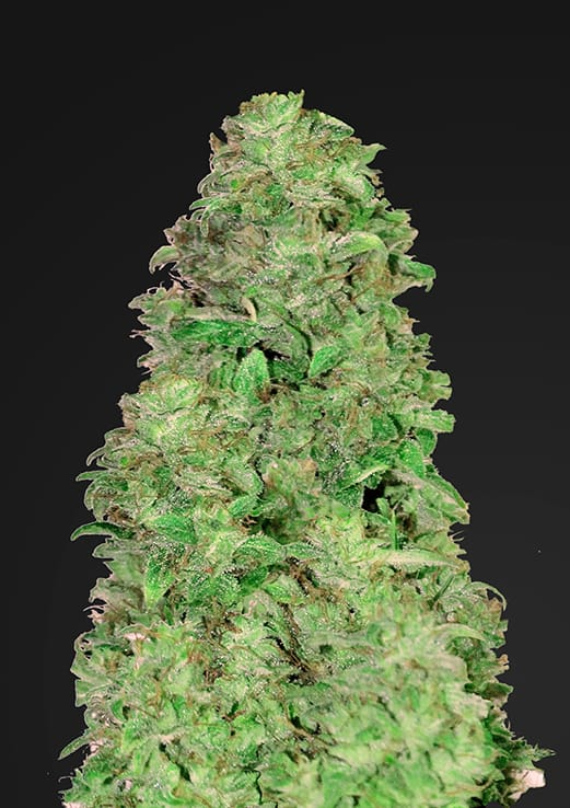 depicted is 420 fastbuds cbd 20:1 a beneficial medical cannabis strain used to treat various mental and physical ailments