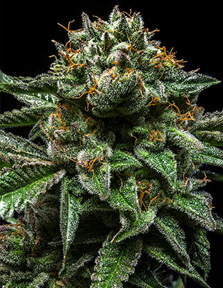 Ripper Seeds - ChemPie Feminised Photoperiod (3 seeds)