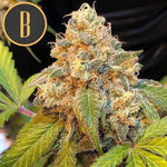 Blimburn Seeds - Chocolopez Feminised Seeds (3 seeds)