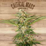 Paramount Seeds - Critical Mass Feminised (1 seed)