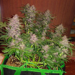 Crystal M.E.T.H is a potent almost psychedelic strain depicted in a grow bag with impressively large and dense buds. Buy these cannabis seeds in south africa