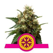 Royal Queen Seeds - Ice Feminised (3 pack)