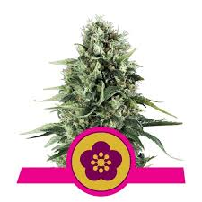 Royal Queen Seeds - Power Flower Feminised (3 pack)