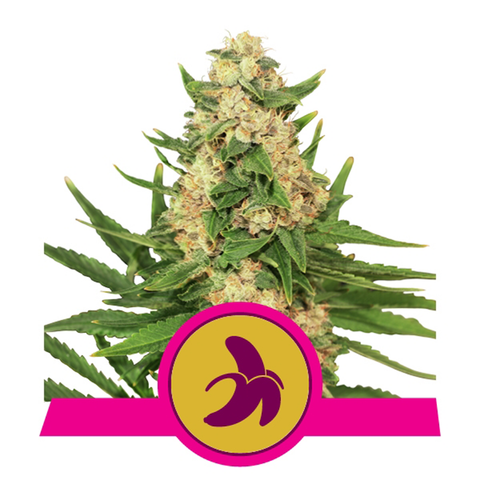 Royal Queen Seeds - Fat Banana Feminised (3 pack)