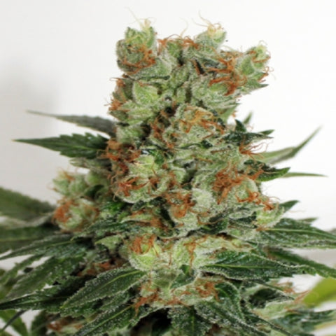 Ripper Seeds - Fuel OG Feminised Seeds (3 pack)