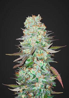 Fast Buds G14 is depicted with amaizing , thick buds. Have you ever asked yourself where do I buy cannabis seeds from ? Sangoma Seeds South Africa is the answer to all of your cannabis seeds needs.