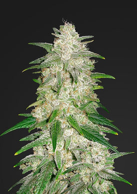 Fast buds Gelato is depicted with the thickest and most dense buds you can imagine with dark green sugar leaves.  Ever asked yourself , is it legal to buy cannabis seeds , or is it legal to grow marijuana in South Africa? The answer is yes! Let us guide you in how to grow cannabis ...