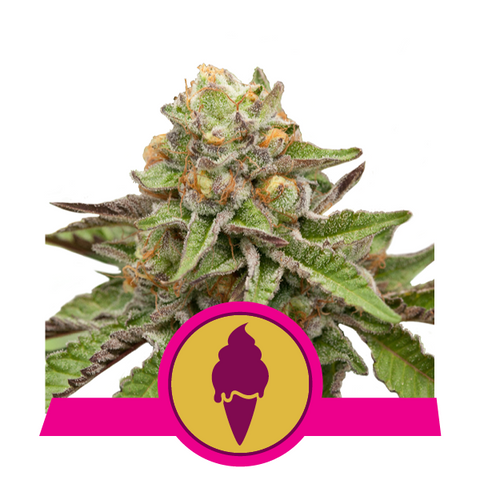 Royal Queen Seeds - Green Gelato Feminised (3 seeds)