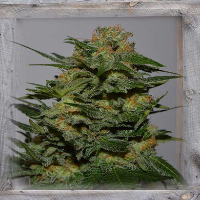Garden of Green - Green Crack Feminised (3 Seeds)