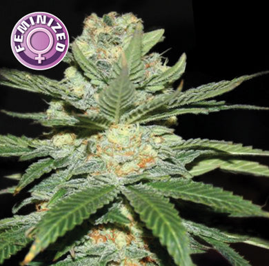 Kera Seeds - Jack Herer (3 pack)