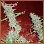 Dr. Krippling Seeds - Krippleberry Auto Feminised Seeds (5 seeds)
