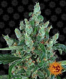 Barney's Farm - Laughing Buddha Feminised Seeds (3 pack)