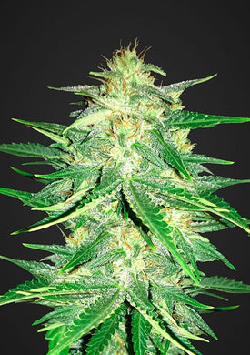 depicted is lemon ak or afghan kush a potent weed strain sold in south africa