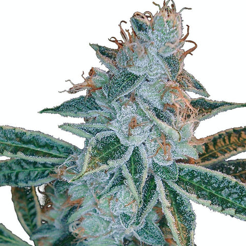 DNA Genetics - Lemon OG Kush Feminised Seeds (3 seeds)