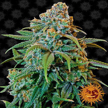 Load image into Gallery viewer, Depicted is Barney's Farm cannabis strain Liberty Haze . A sativa dominant strain, buy these cannabis seeds in south africa now!