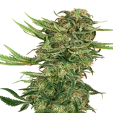Sensi Seeds - N13 Kush Feminised Seeds (3 pack)