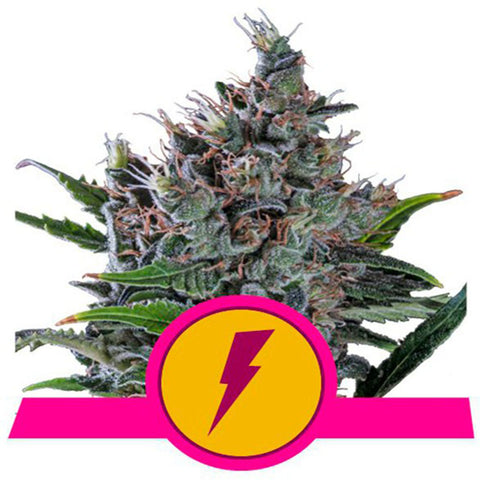 Royal Queen Seeds cannabis seeds available for purchase from sangoma seeds in south africa